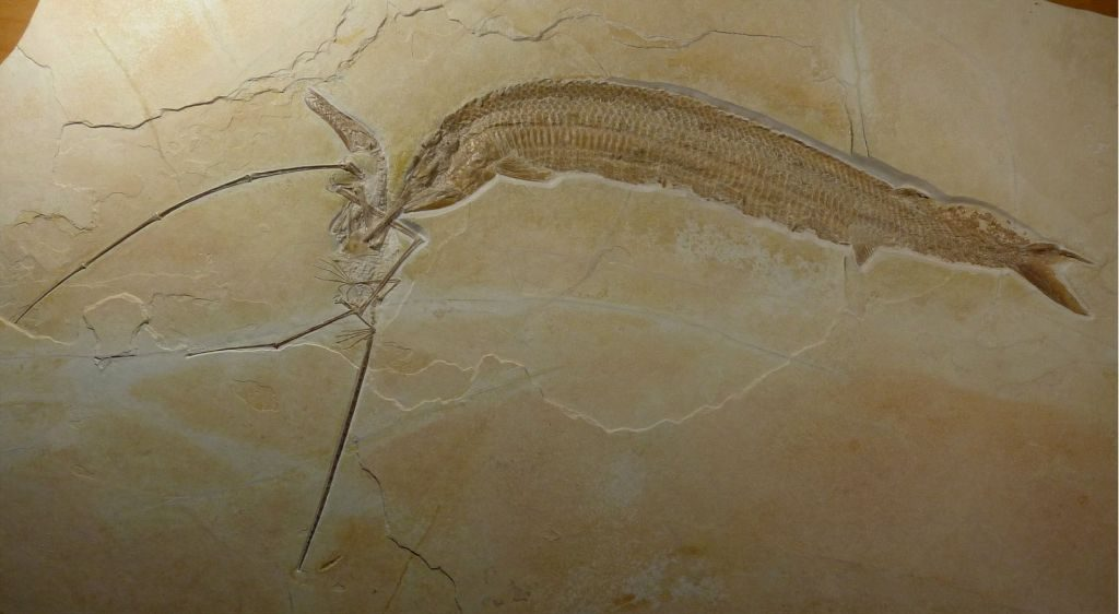 fossil of fish aspidorhynchus with teeth stuck in wing of rhamphorhynchus
