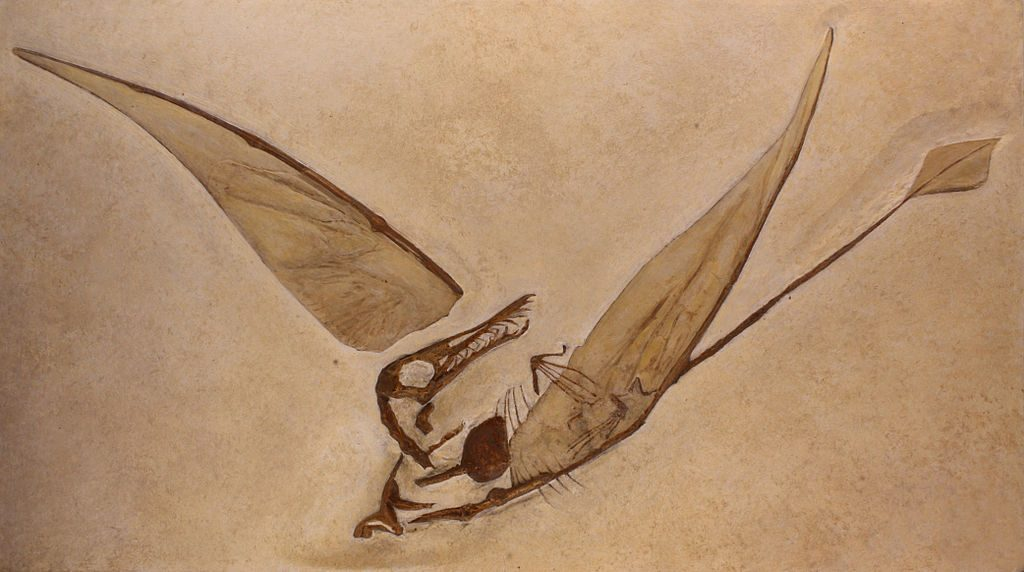 fossil of rhamphorhynchus with visible wing membranes